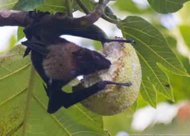 Bats of Flying Foxes in Breadfruit in American Samoa Ofu