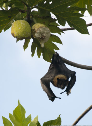 Bats of Flying Foxes in Breadfruit in American Samoa Ofu