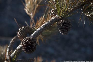 Acadia National Park Cadillac Mountain Pinecones