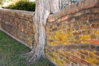 Tree growing aroud brick wall at Grace Church in Yorktown VA by Steven Michael Martin at album.us.com